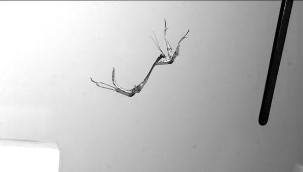 Биологи впервые сняли на камеру прыжки быстрейших насекомых в мире