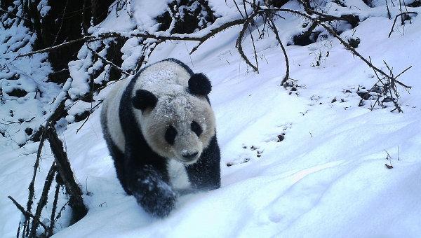 Зоологи впервые проследили за жизнью диких панд в бамбуковых лесах КНР